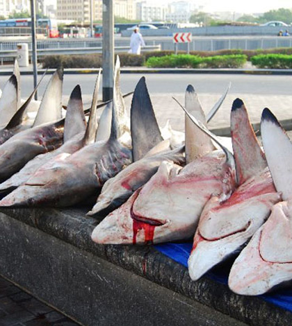 100 Million Sharks are Killed Each Year to Prepare Chinese Soup
